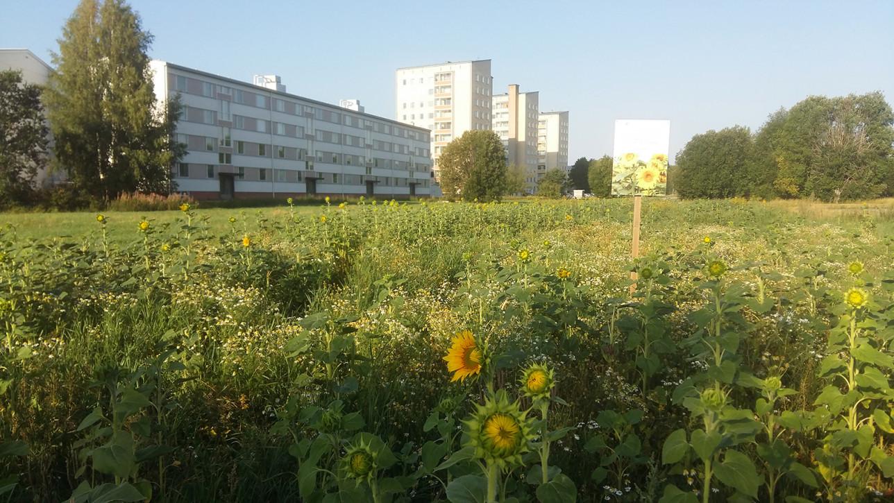 Auringonkukkapelto Halisissa.