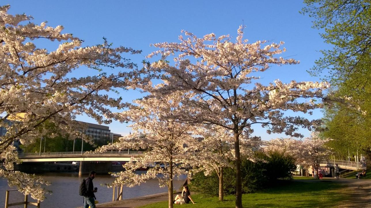 Kolme kirsikkapuuta vaaleanpunaisin kukin, takana Martinsilta.