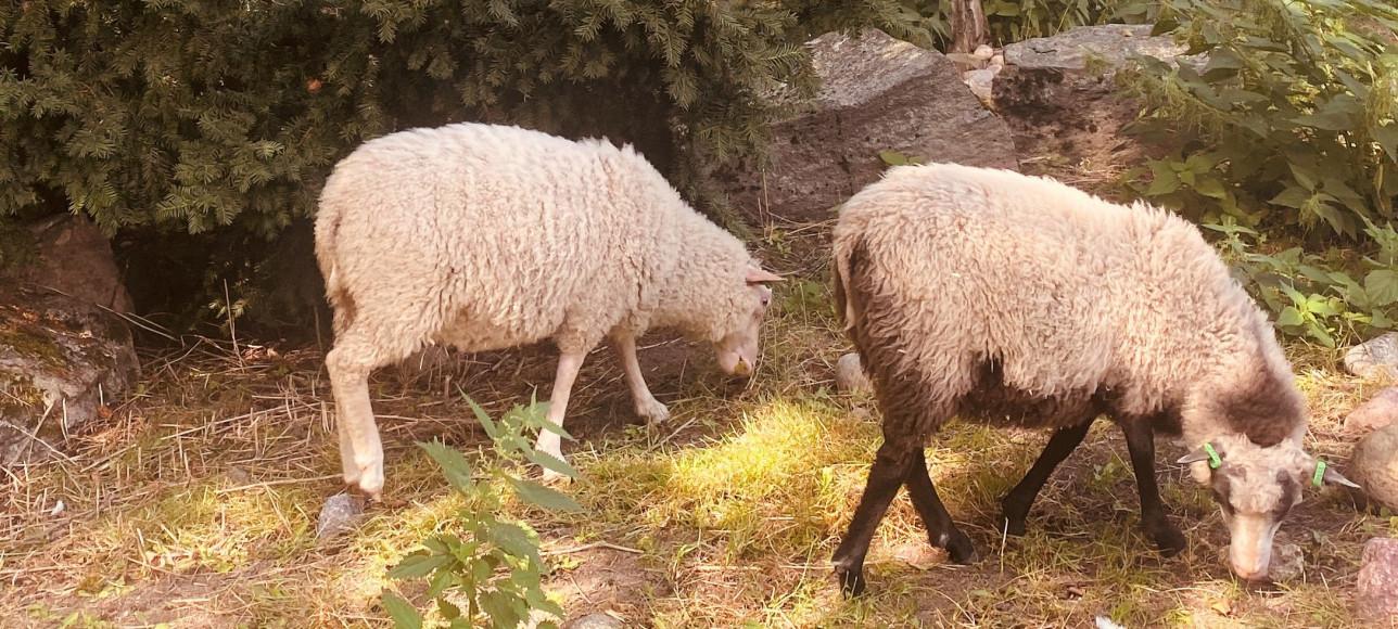 Kaksi lammasta syö ruohoa.