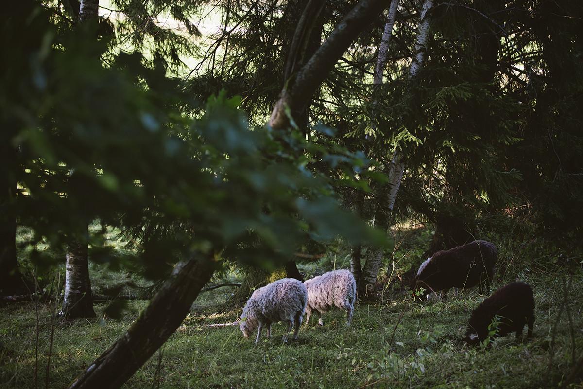 Kuralan Kylämäen lampaita