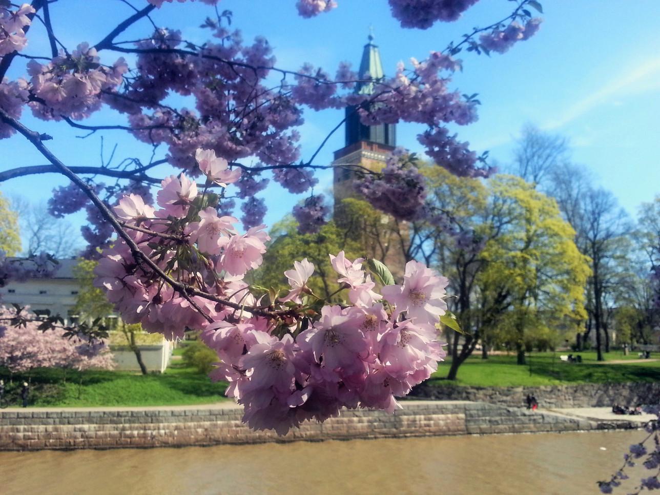 Kirsikkapuun oksa, jossa vaaleanpunainen kukinta. Takana näkyy Tuomiokirkko ja Aurajoki.