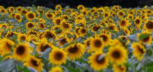 Auringonkukkapelto keltaisenaan kukista