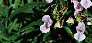 jättipalsamin lila kukinto ja vihreitä lehtiä