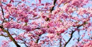 vaaleanpunaisia kirsikankukkia
