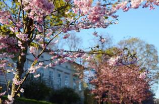 Kirsikankukkia Gazeliuksenkadulla
