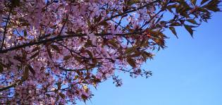 Kirsikankukkia ja sinitaivas.
