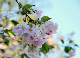 Kirsikkapuun oksa, jossa vaaleanpunainen kukinta.