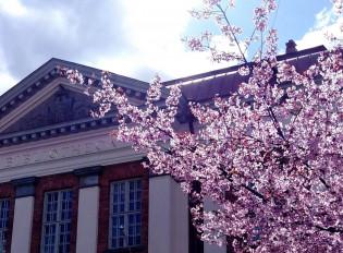 Kirjasto ja kirsikankukat