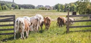 Sonneja ja härkiä menossa laitumelle