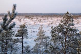 Männynlatvojen takana talvinen suo
