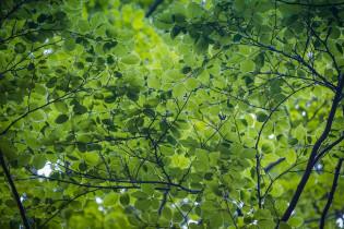 Puiden latvoja, joissa paljon vihreitä lehtiä. Taivasta ei näy ollenkaan.