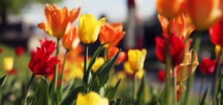 Keltaisia ja punaisia tulppaaneja