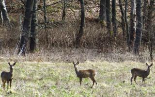 Kolme metsäkaurista metsäaukiolla Ruissalossa.