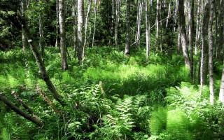Koivuja ja saniaisia Pomponrahkan luonnonsuojelualueella.