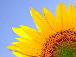 auringonkukka1600.jpg