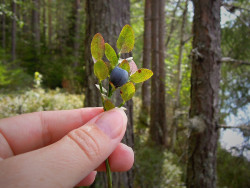蓝莓-1600.jpg