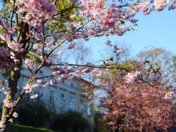 kirsikankukat.jpg