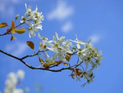 kirsikkapuu.jpg