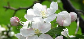 Omenapuun kukintaa