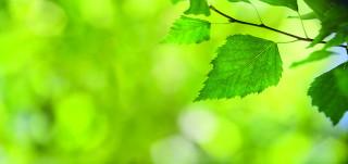 Koivun lehtiä vehreässä taustassa