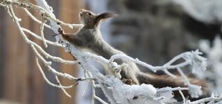 Biologinen museo orava talvi