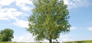 Vehreä ja suuri lehtipuu nurmella hiekkatien vieressä