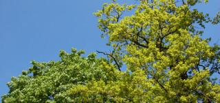 Puun latvat taivasta vasten kuvattuna
