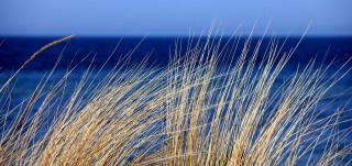 Keltaisia kaisloja tuulessa, takana näkyy sininen meri