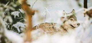 Susi talvisessa dioraamassa