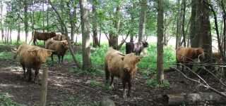 Ylämaan karjaa Ruissalossa