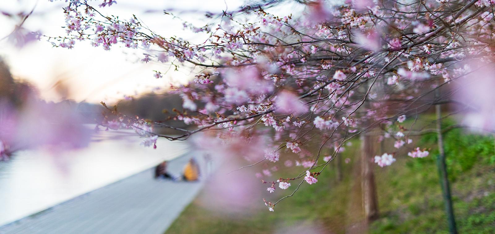 Kirsikankukat Aurajoen rannassa keväällä 2020.