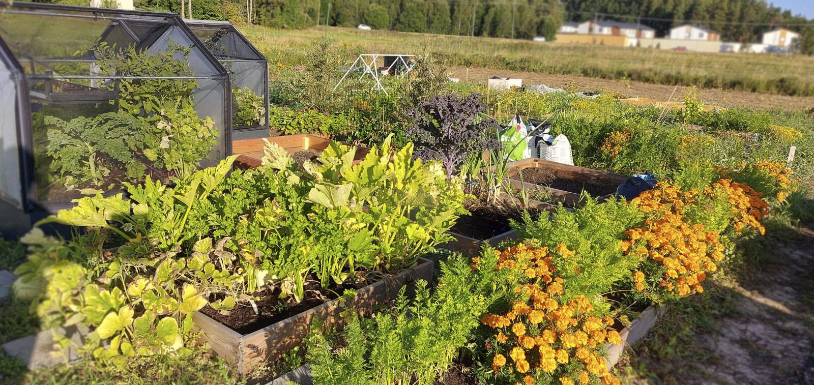 Pellon viljelypalstoilla kasvavia vihanneksia ja kesäkukkia