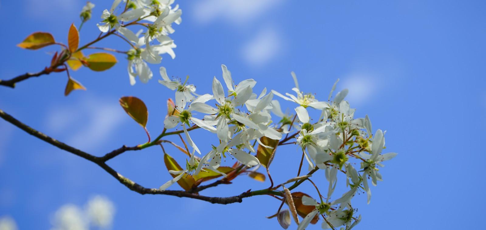 Kirsikkapuun kukkia sinisen taivaan alla.
