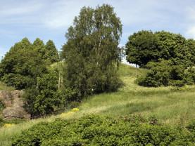 Kuvassa näkyy Fleminginpuiston rehevää rinnekasvillisuutta puineen.