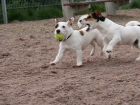 Koiria leikkimässä koirapuistossa