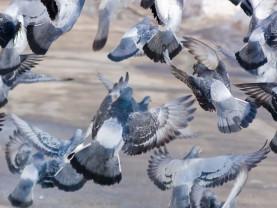 Parvi puluja pyrähtää lentoon kaupunkiympäristössä