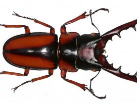 Kovakuoriainen 'Prosopocoilus savagei'